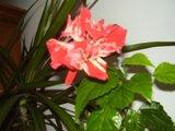 Hibiscus rosa sinensis - Pagina 40 Th_P7040307