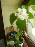 Hibiscus rosa sinensis - Pagina 40 Th_P7050315