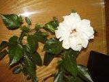 Hibiscus rosa sinensis Th_P9030132