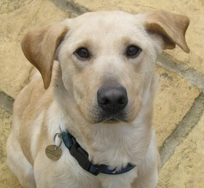 Holly a 5 yr old Yellow Labrador Fostered by Four Paws Animal Rescue (South Wales)  Holly3