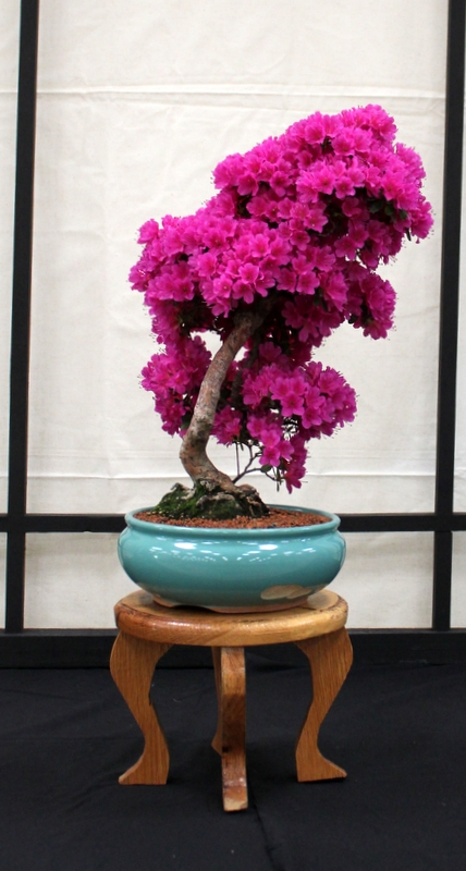 Dragon Bonsai at the Welsh Game Fair June 15th and 16th IMG_6367