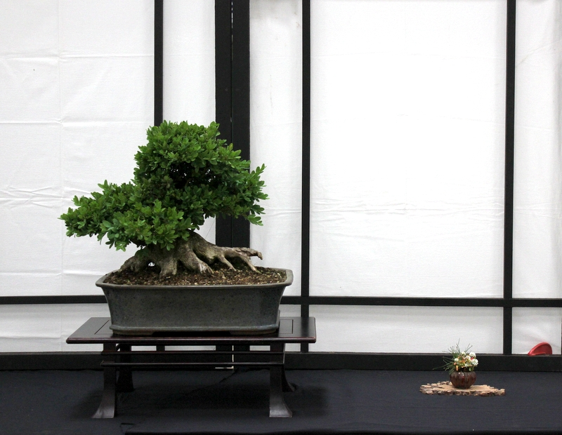 Dragon Bonsai at the Welsh Game Fair June 15th and 16th IMG_6370