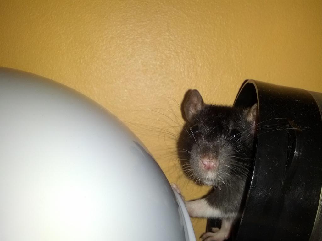 Mes 3 ratounes tant attendues IMG_20120918_213512_zps70effb05