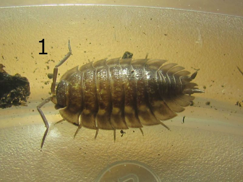 3 Isopods and 1 Beetle Untitled_zpsan8a3nye