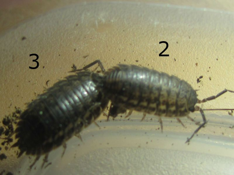 3 Isopods and 1 Beetle The%20bog%20boogggg_zpsi4bkojts