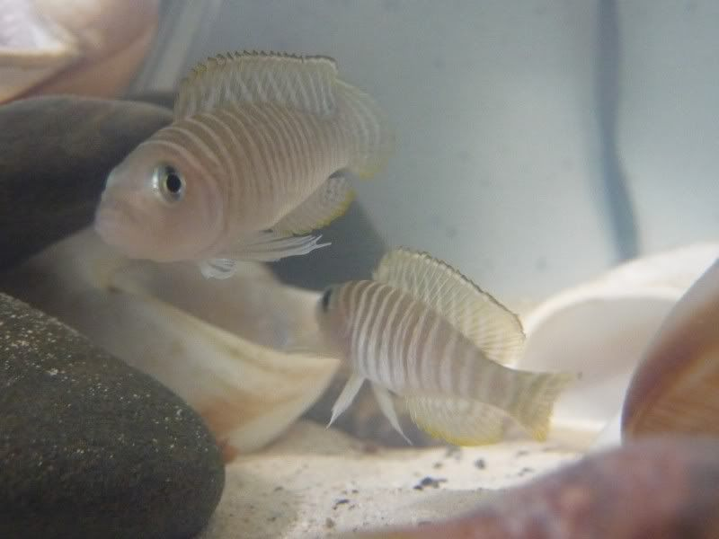 Lamprologus Similis species tank P1060514