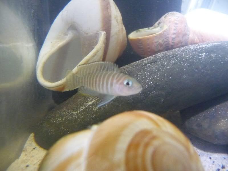 Lamprologus Similis species tank P1060525