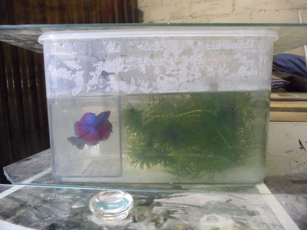 Halfmoon fighting fish breeding P1060636