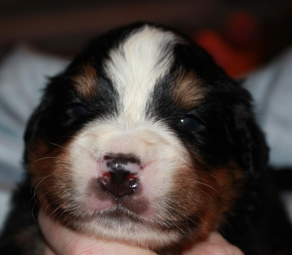 pics of my litter of Bernese Mountain Dogs  Jet2_zps8ea94295
