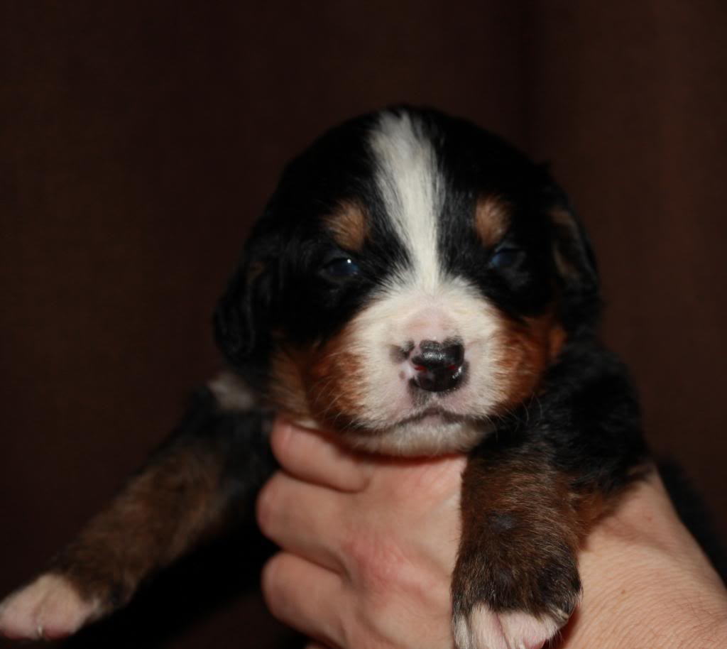 pics of my litter of Bernese Mountain Dogs  Turbo4_zps9cd14479