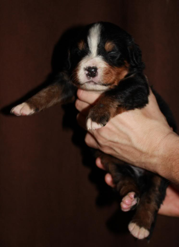 pics of my litter of Bernese Mountain Dogs  Turbo5_zps86d30263