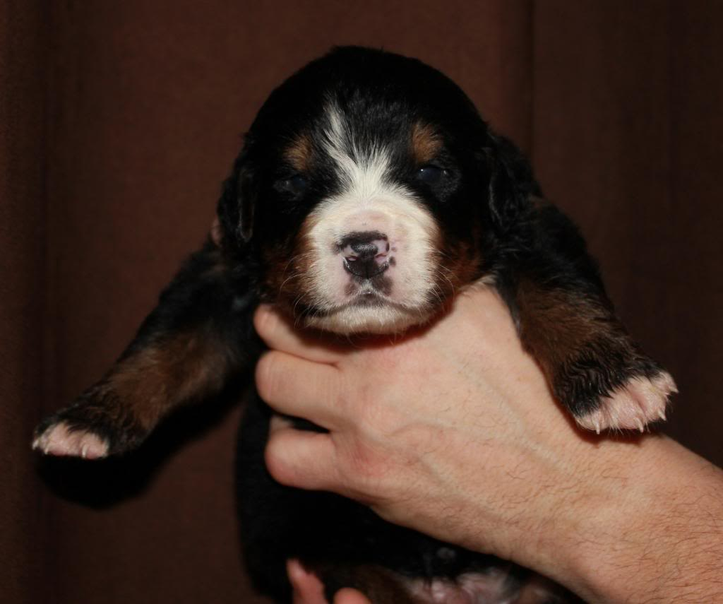 pics of my litter of Bernese Mountain Dogs  Tank6_zpsd1df660f