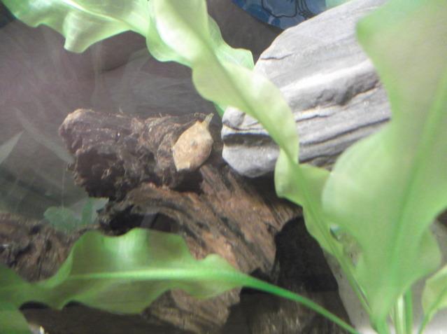 Teraodon miurus DSCF2523