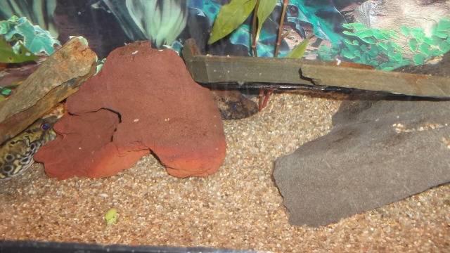 Mes 2 anciens Tetraodon palembangensis  DSCF1319