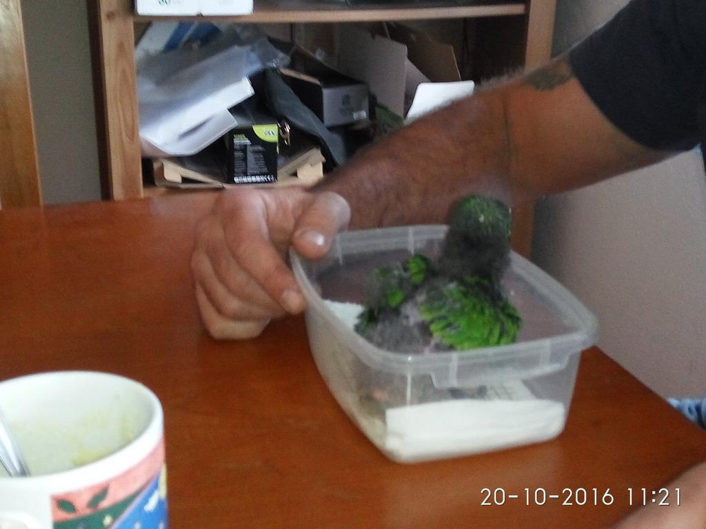 Eclectus roratus (Edel) IMG_20161020_112153_zpswk0ckruf