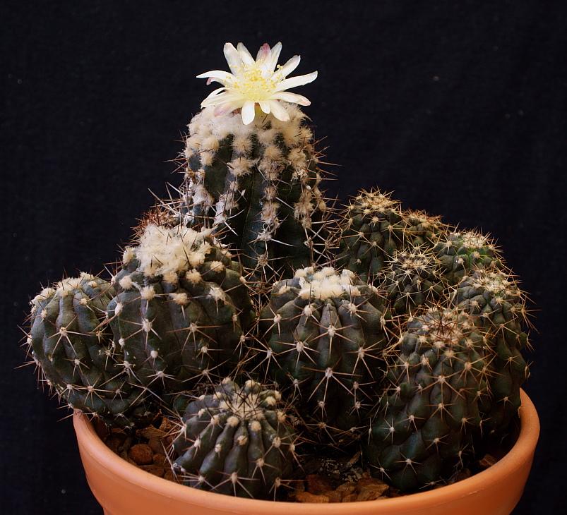Copiapoa in cultivation DSC033711_zps6cbcd662