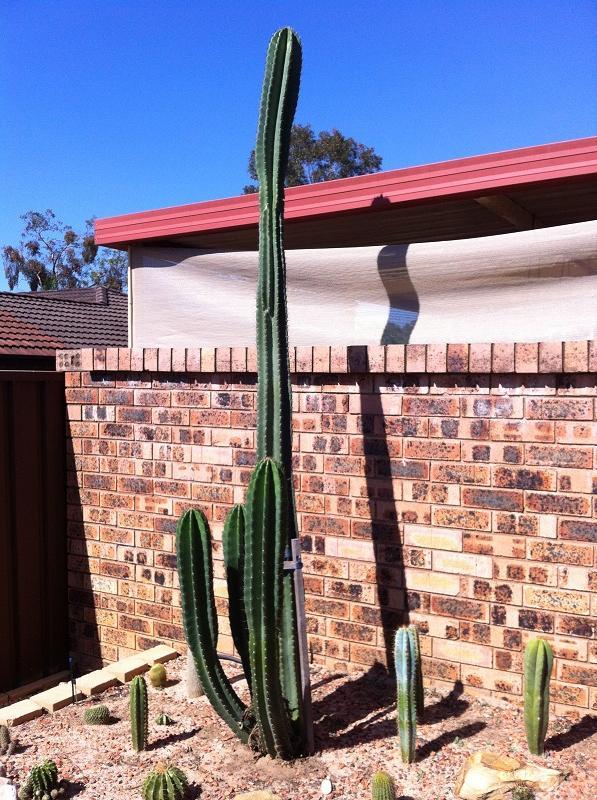 Cereus peruvianus not growing IMG_0376_zps858d1f61