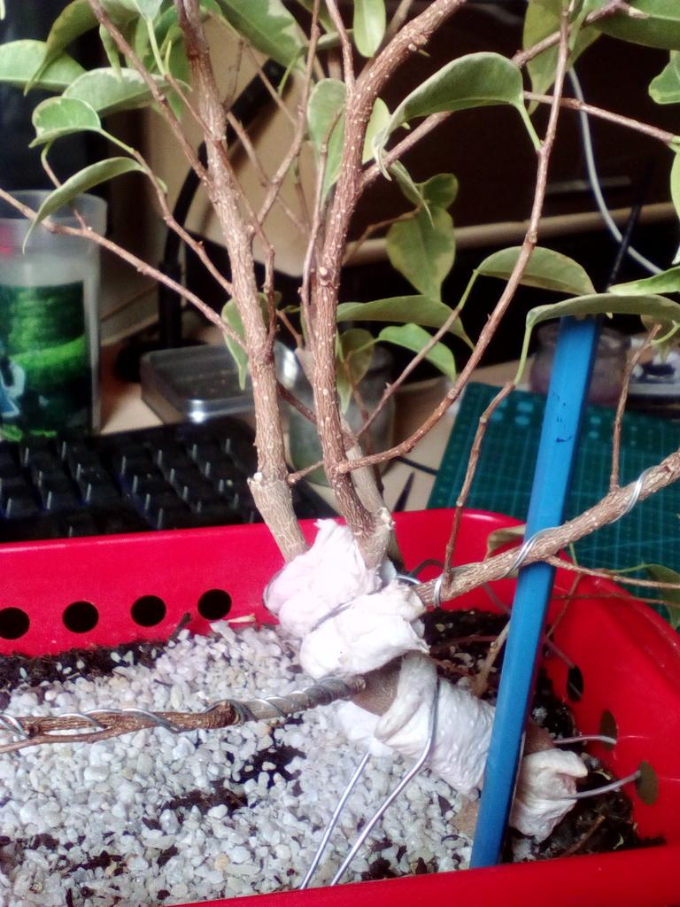 Diseño ficus benjamina variegata <3 Espalda%203_zpshamlhgla