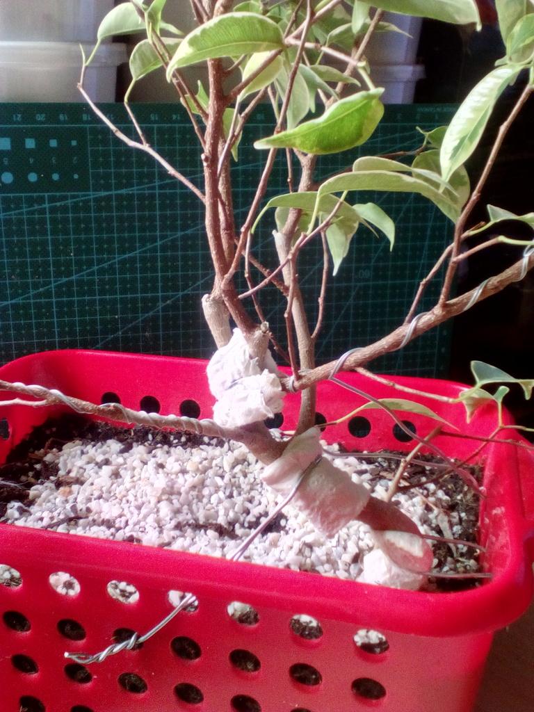 Diseño ficus benjamina variegata <3 Espalda_zpsfejplbak