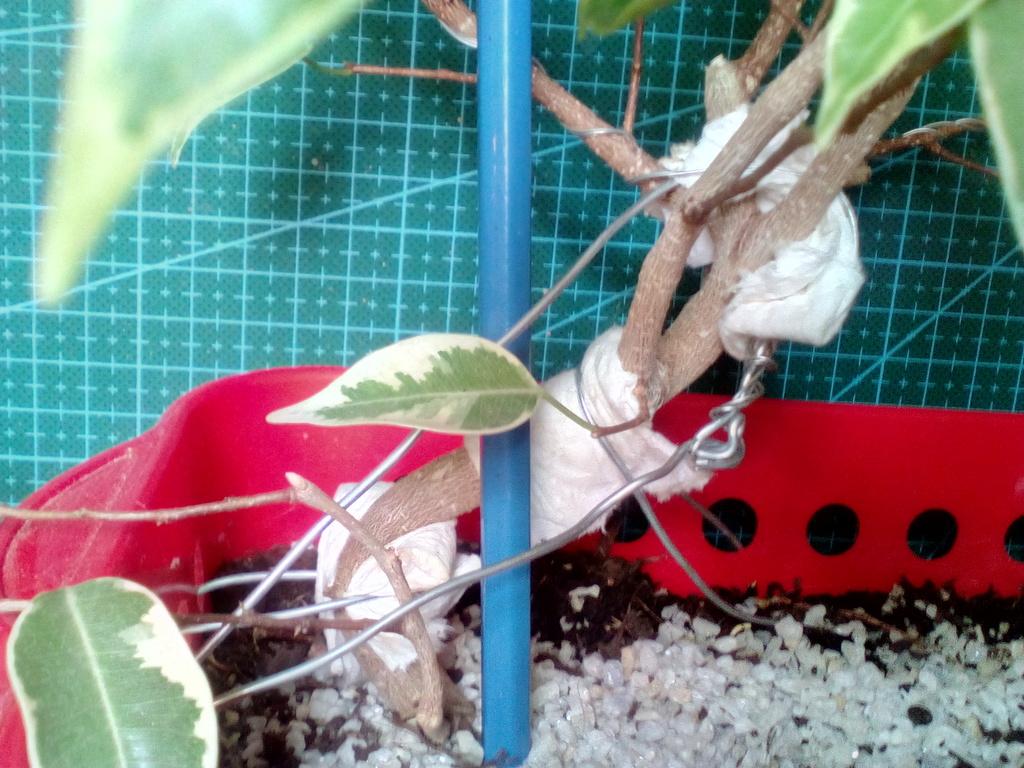 Diseño ficus benjamina variegata <3 Frente%202_zpswshysym9