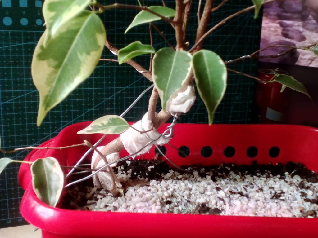Diseño ficus benjamina variegata <3 Frente_zpsco6bvh0y