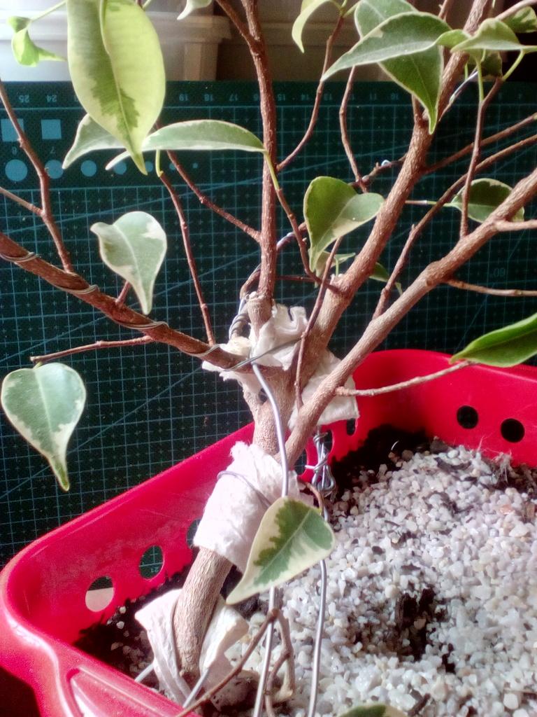 Diseño ficus benjamina variegata <3 Lado%20atras%203_zpstrlpdsq8