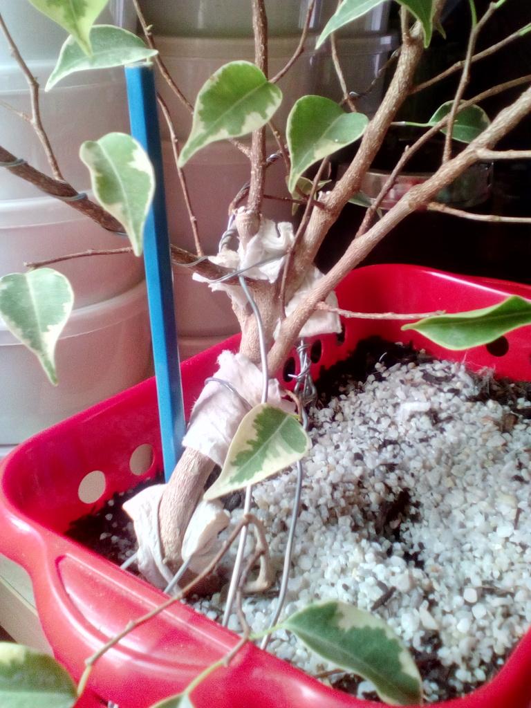 Diseño ficus benjamina variegata <3 Lado%20atras%204_zpsufzrt8bg