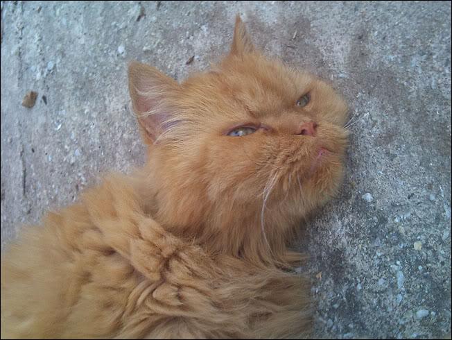 Ο πορτοκαλής Περσούλης των Σερρών, ψάχνει καινούργιο σπίτι....ΥΙΟΘΕΤΗΘΗΚΕ 2012-09-02193109