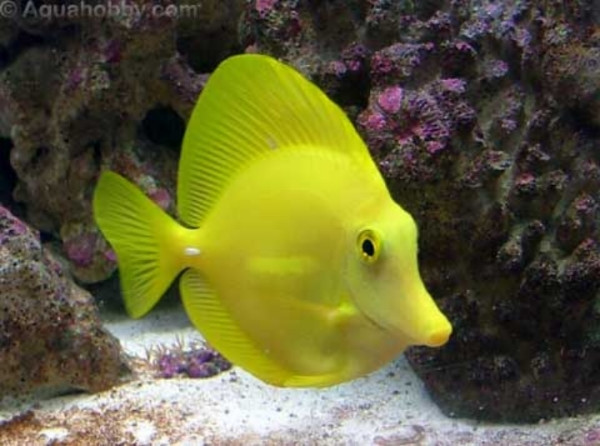 Yellow Tang 5078be94-7e6c-450a-929e-8d044f93fa52_zpscdd5aa70
