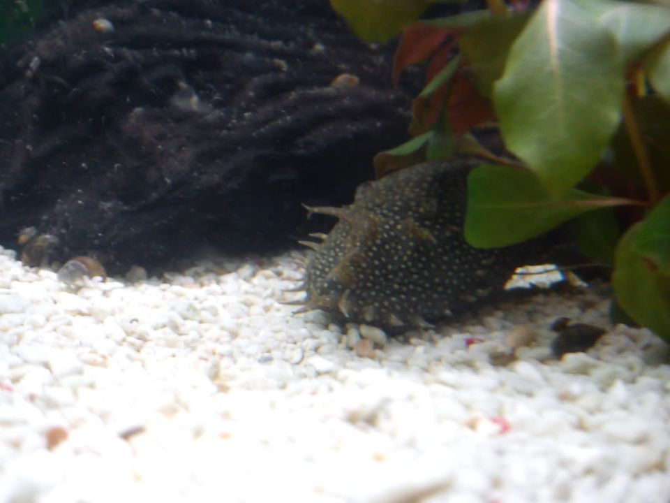 Please identify my Bristlenose DSC00416