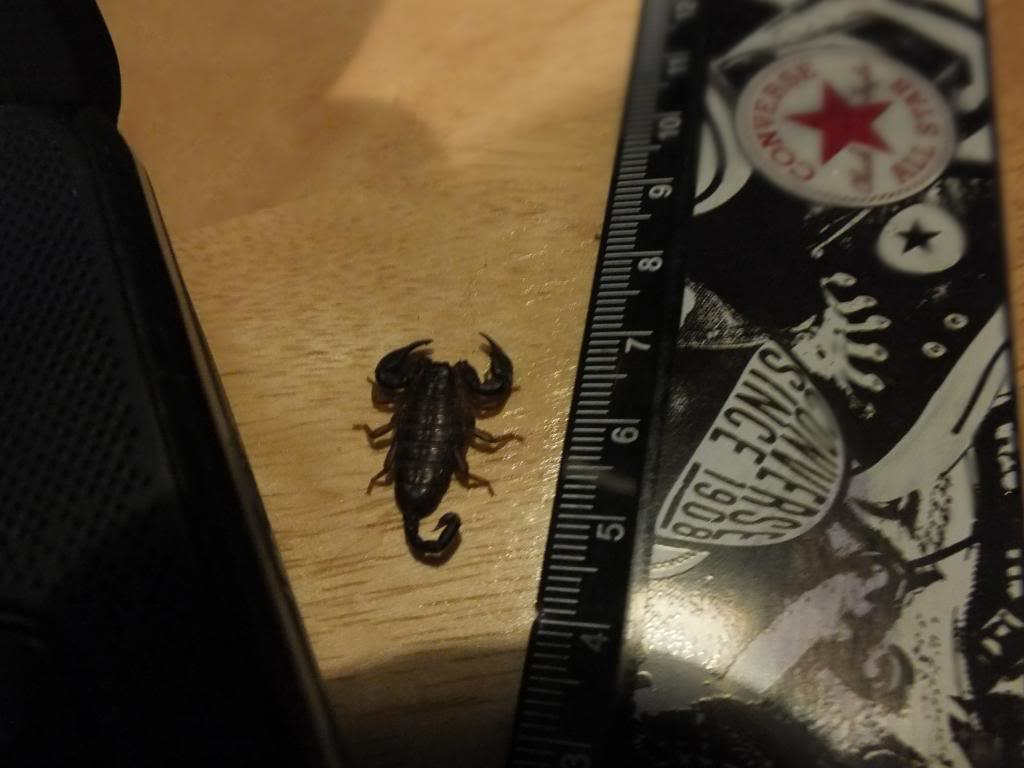 euscorpius concinnus or italicus? DSCF2002_zps27648f88