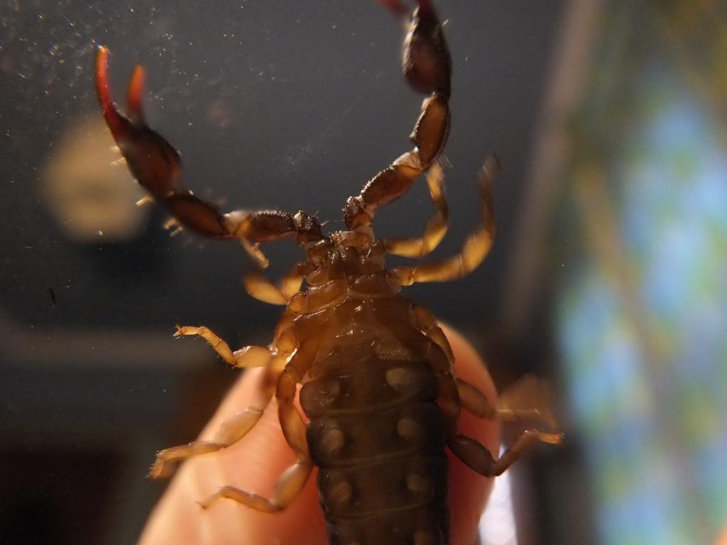 euscorpius concinnus or italicus? DSCF2270_zpsefd2f0b2