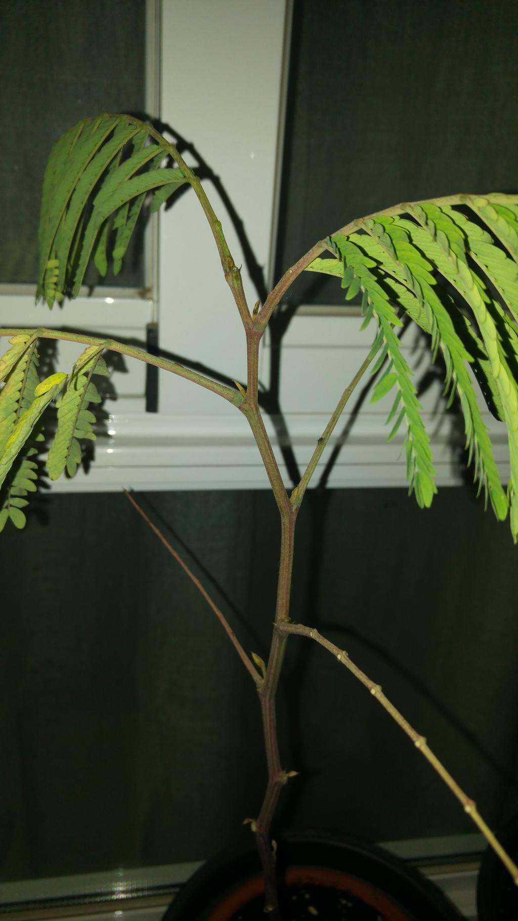 Duda - Cambio de sustrato a plantones recién trasplantados. 20160425_221758_zpsqlwhvblv
