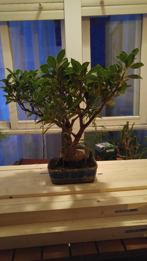 Mi nuevo Ficus Tiger Bark. Opiniones. 20160525_220947_zpszaem4nqp