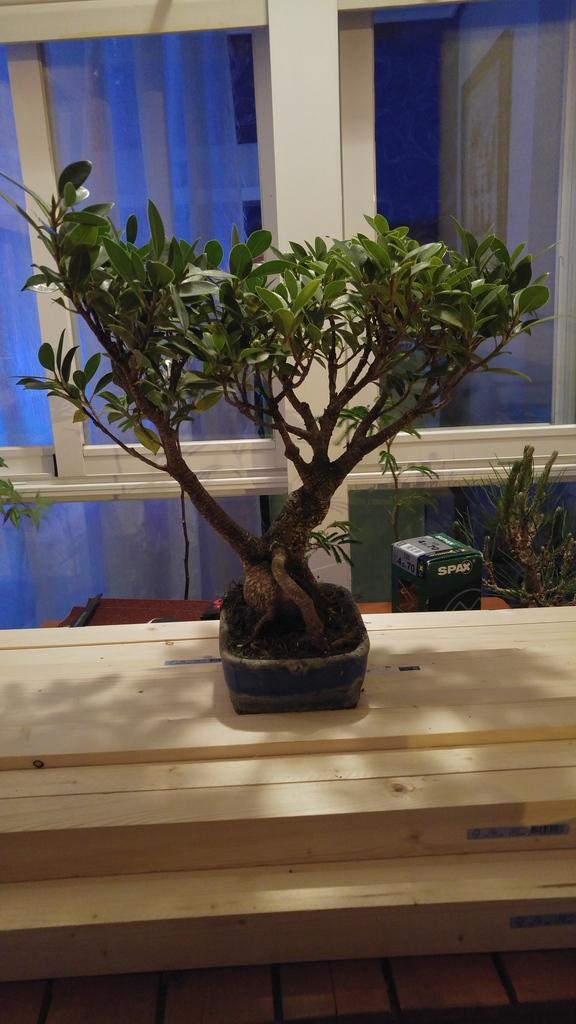 Mi nuevo Ficus Tiger Bark. Opiniones. 20160525_220957_zpsdv1ipbus