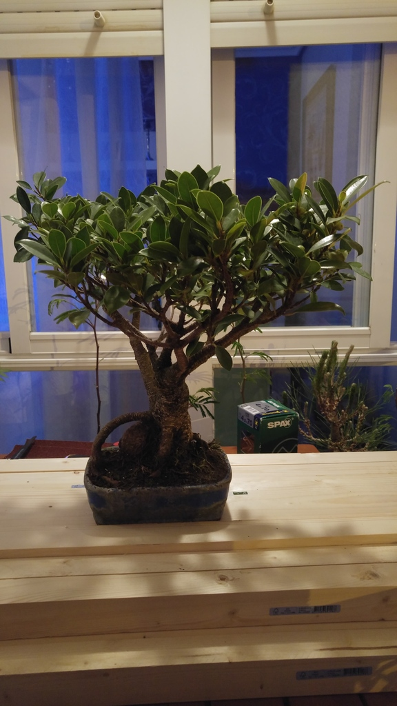 Mi nuevo Ficus Tiger Bark. Opiniones. 20160525_221008_zpsitdnwi6s
