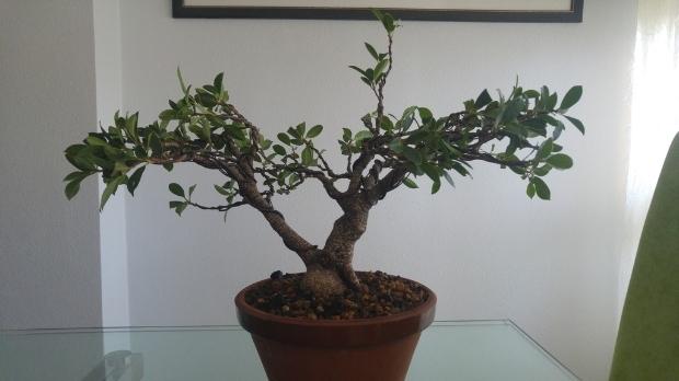 Mi nuevo Ficus Tiger Bark. Opiniones. 6c6e76de-e7d5-4f75-892a-a6050c5ac166_zpsgc7nepm9