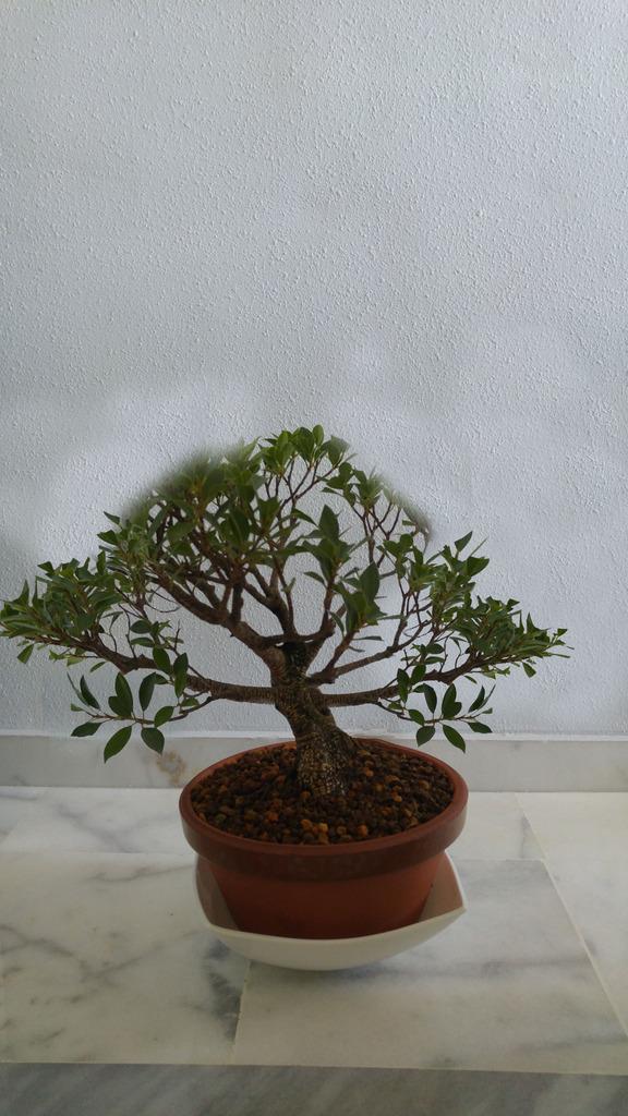 Mi nuevo Ficus Tiger Bark. Opiniones. Posible%20disentildeo%20ficus_zps0vwdgozn