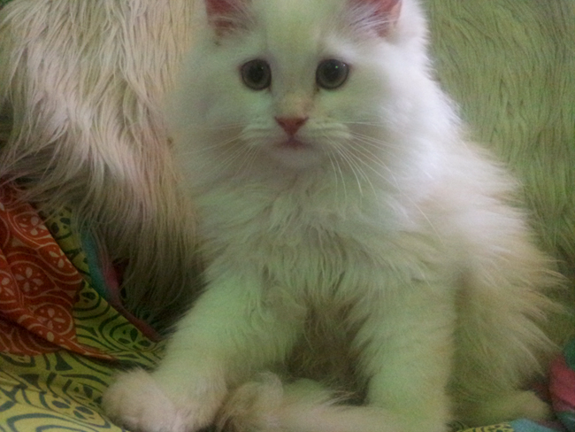قطط صغيرة للبيع 2021 - منتدى بيع وشراء قطط الشيرازي والهملايا 2010305_161259_zpsmcrg55ni