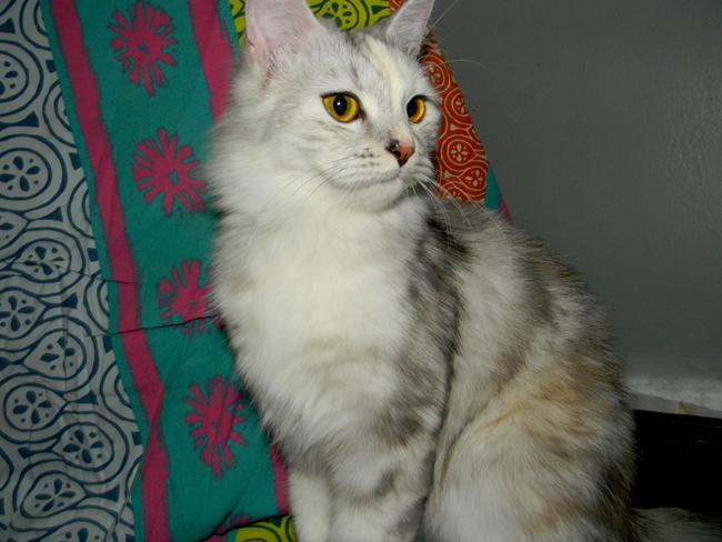 قطط صغيرة للبيع 2021 - منتدى بيع وشراء قطط الشيرازي والهملايا DSCN4208_zps4w5n8plh