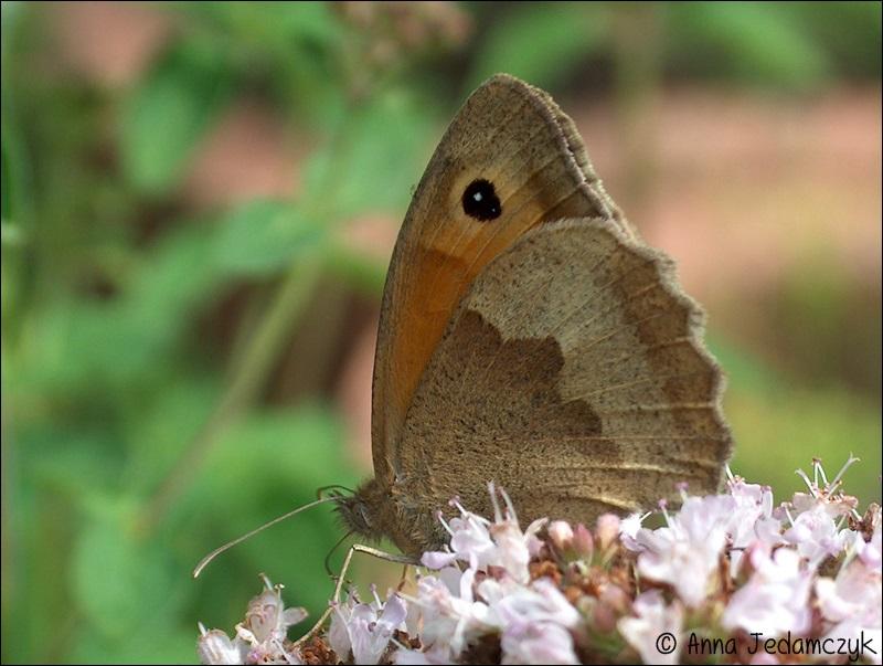 Schmetterlinge, Bienen, Wespen und andere Insekten aus dem Garten Schmetterlinge10_zps7ba51b20
