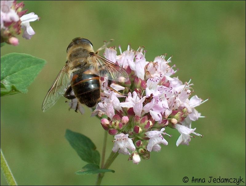 Schmetterlinge, Bienen, Wespen und andere Insekten aus dem Garten Schmetterlinge11_zpscf7a8ba4