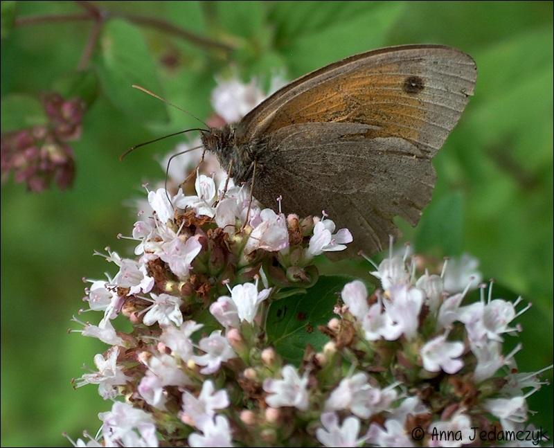 Schmetterlinge, Bienen, Wespen und andere Insekten aus dem Garten Schmetterlinge1_zps245a5e35