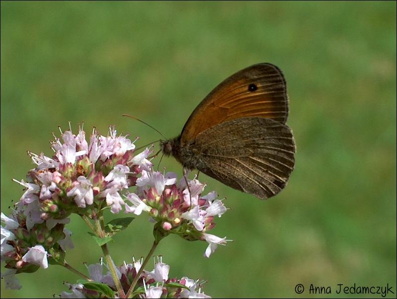 Schmetterlinge, Bienen, Wespen und andere Insekten aus dem Garten Schmetterlinge4_zpseaf04cc5