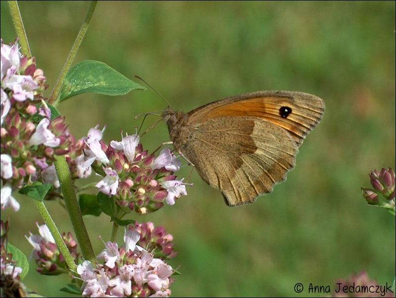 Schmetterlinge, Bienen, Wespen und andere Insekten aus dem Garten Schmetterlinge5_zps2308cf17