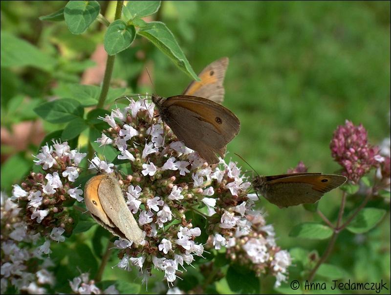 Schmetterlinge, Bienen, Wespen und andere Insekten aus dem Garten Schmetterlinge7_zps458ddf6e