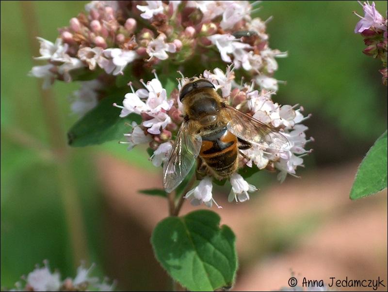 Schmetterlinge, Bienen, Wespen und andere Insekten aus dem Garten Schmetterlinge9_zps2e4ae10b