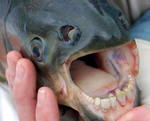 Pez Raro Con Dientes Humanos Pez-dientes-humanos-01_zps2bccf99a