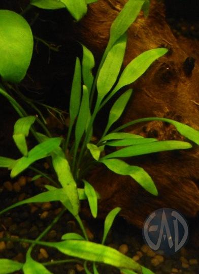 Plantas / Algas [ Atlas ] DSC01888_zpsf987a76d