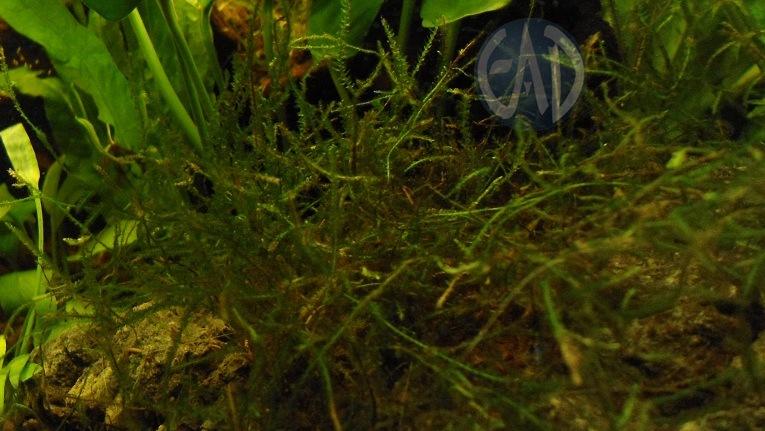 Plantas / Algas [ Atlas ] DSC01916_zpse1c4eee1